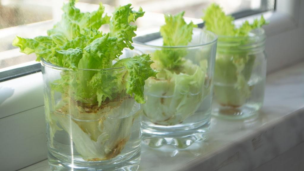 regrow lettuce scraps