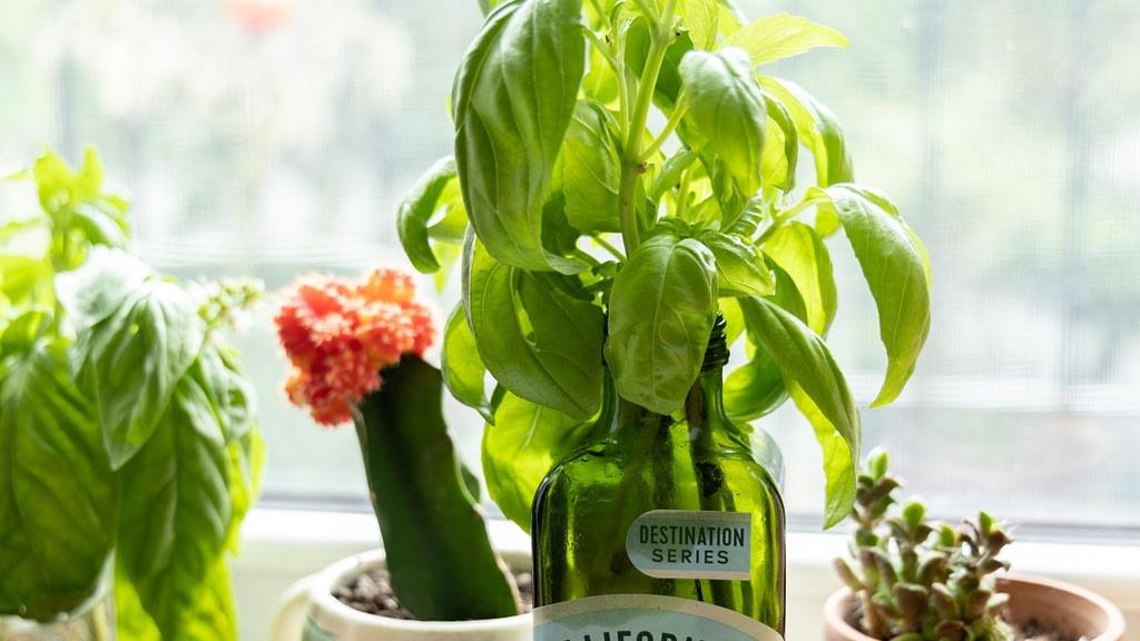 herbs in reused jar